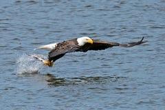 Amerikan skalliga Eagle Fish Grab Royaltyfri Bild