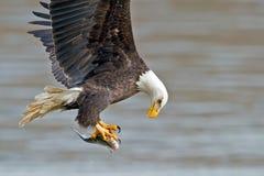 Amerikan skalliga Eagle Fish Grab Fotografering för Bildbyråer