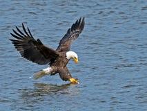 Amerikan skalliga Eagle Fish Grab Arkivbilder
