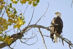 Amerikan skalliga Eagle On The Perch Royaltyfria Foton