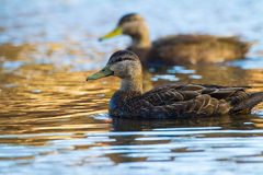 Amerikan svarta Duck Pair Royaltyfri Bild