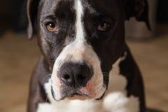 Amerikan Terrier Pitbull Royaltyfria Foton