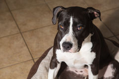 Amerikan Terrier Pitbull Royaltyfri Bild