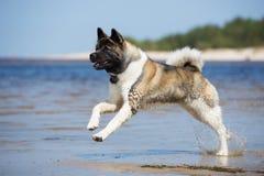 Amerikanakita hund som spelar på en strand arkivfoto