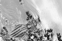 Amerikanalligatorjakt i våtmarker Arkivbild