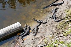 Amerikanen behandla som ett barn alligatorer i Florida våtmark Evergladesnationalpark i USA Små alligatorer Royaltyfri Foto