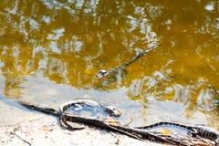 Amerikanen behandla som ett barn alligatorer i Florida våtmark Evergladesnationalpark i USA Små alligatorer Arkivfoto