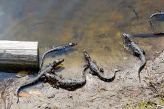 Amerikanen behandla som ett barn alligatorer i Florida våtmark Evergladesnationalpark i USA Små alligatorer Arkivbild