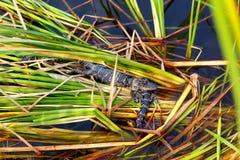 Amerikanen behandla som ett barn alligatorer i Florida våtmark Evergladesnationalpark i USA Små alligatorer Royaltyfri Bild