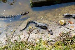 Amerikanen behandla som ett barn alligatorer i Florida våtmark Evergladesnationalpark i USA Små alligatorer Fotografering för Bildbyråer