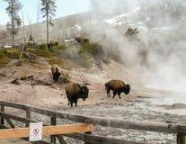 Amerikanen Bison Herd i Yellowstone parkerar Arkivfoton