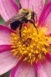 Amerikanen stapplar biet på rosa färgblomma Arkivbild