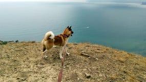 Amerikaner Akita auf dem hohen Ufer, welches das Meer betrachtet lizenzfreie stockfotografie