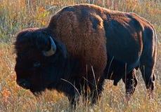 Amerikaner Bison Buffalo, der in Custer State Park weiden lässt lizenzfreies stockfoto