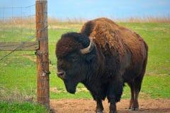 Amerikaner Bison Buffalo an einem offenen Zaun Gate Lizenzfreies Stockfoto