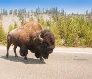 Amerikaner Bison Sharing die Straße an Yellowstone Nationalpark Stockfotografie