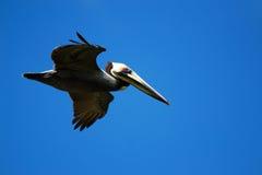 Pelikan im Flug (Pelecanus occidentalis) Lizenzfreies Stockfoto