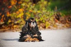 Amerikaner cocker spaniel auf Herbsthintergrund Stockfotografie