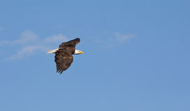 Amerikaner Eagle Gliding Through The Air Stockbild