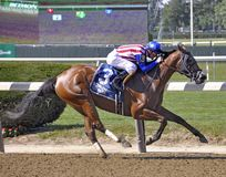Amerikaner Gal Racehorse stockfoto