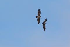 Amerikaner Junevile-Weißkopfseeadler stockfoto