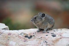 Amerikaner Pika, das auf einem Granit-Felsen sitzt Lizenzfreie Stockfotos
