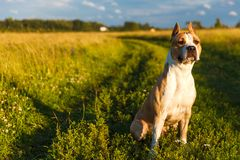 Amerikaner Pit Bull Terrier in der gelben Farbe in der Natur sitzt auf dem Gras Lizenzfreies Stockfoto