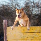 Amerikaner Pit Bull Terrier springt über Hürde lizenzfreie stockfotografie