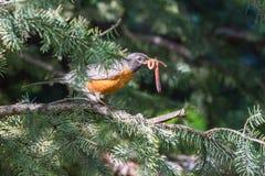 Amerikaner Robin Sitting im Baum mit einem Wurm Stockbild