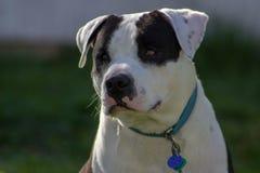Amerikaner Stafford-Grafschaft Pitbull-Terrier-Mischung lizenzfreies stockfoto
