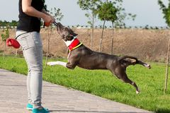 Amerikaner-Stafford Terrier-Hund, der Tauziehen spielt lizenzfreie stockfotografie