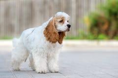 Amerikanercocker spaniel-Hund draußen Stockfotos