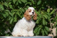 Amerikanercocker spaniel-Hund draußen Lizenzfreies Stockfoto