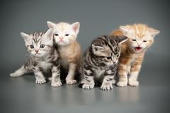 Amerikanisch Kurzhaar-Katze auf farbigen Hintergründen lizenzfreie stockfotos