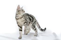 Amerikanisch Kurzhaar-Katze auf Weiß Lizenzfreie Stockfotografie