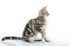 Amerikanisch Kurzhaar-Katze auf Weiß Stockbild