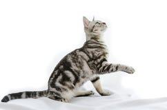 Amerikanisch Kurzhaar-Katze auf Weiß Stockbilder