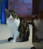 Amerikanisch Kurzhaar-Katze mit weißem Kasten Stockfotos