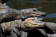 Amerikanische Alligatoren, die in The Sun sich aalen Stockbilder