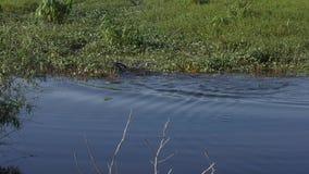 Amerikanische Alligatoren im Frühjahr stock video