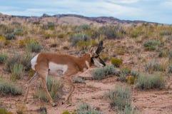 Amerikanische Antilope Utahs Pronghorn - Antilocapra Americana Lizenzfreies Stockbild