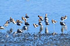 Amerikanische Avocets, die im See stillstehen lizenzfreie stockfotos