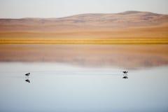 Amerikanische Avocets im Teich bei Sheldon National Wildlife Refuge, Nevada lizenzfreie stockfotos