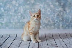 Amerikanische Bobtail Katze Stockbild