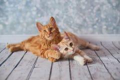 Amerikanische Bobtail Katze Stockfotos