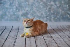 Amerikanische Bobtail Katze Lizenzfreie Stockbilder