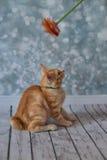 Amerikanische Bobtail Katze Stockfotografie