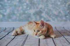 Amerikanische Bobtail Katze Lizenzfreie Stockfotos