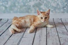 Amerikanische Bobtail Katze Stockbilder