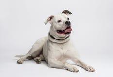 Amerikanische Bulldogge (20 Monate alte) Lizenzfreies Stockbild